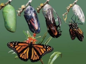 Transformation-of-a-caterpillar-into-Butterfly-Magic of Nature Around Us